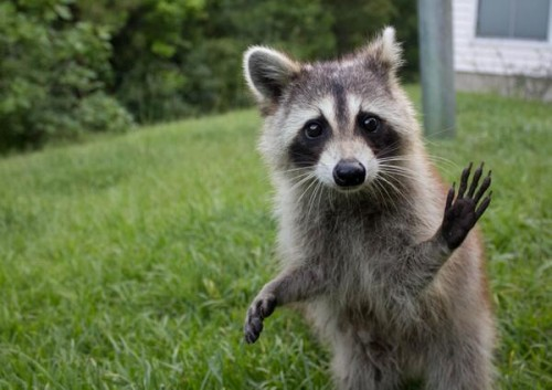 Raccoon Waving Twitter@CuteEmergency