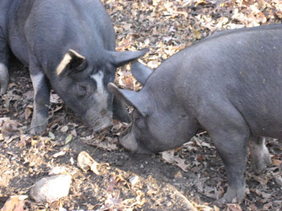 Kissing pigs!